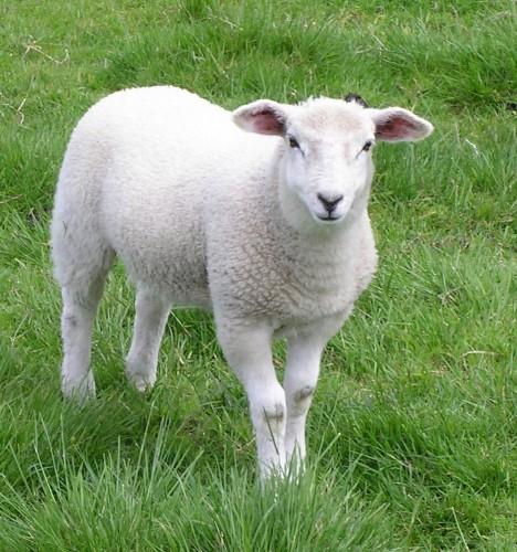 """День какой то странный, сегодня меня всё бесит.  Новая привычка слово  """"овца """" ну она милая такая..."""