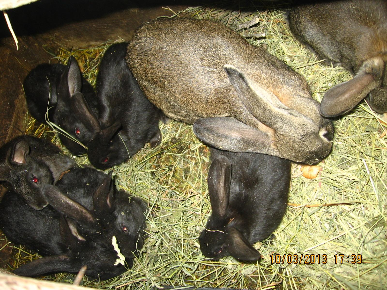 фото кокцидиоз у кроликов