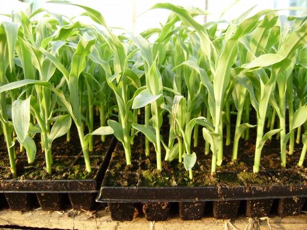 Как посадить кукурузу на рассаду
