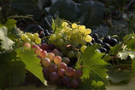 южноуральский виноград