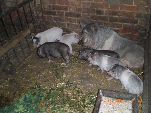 Фото свинарника в домашних условиях