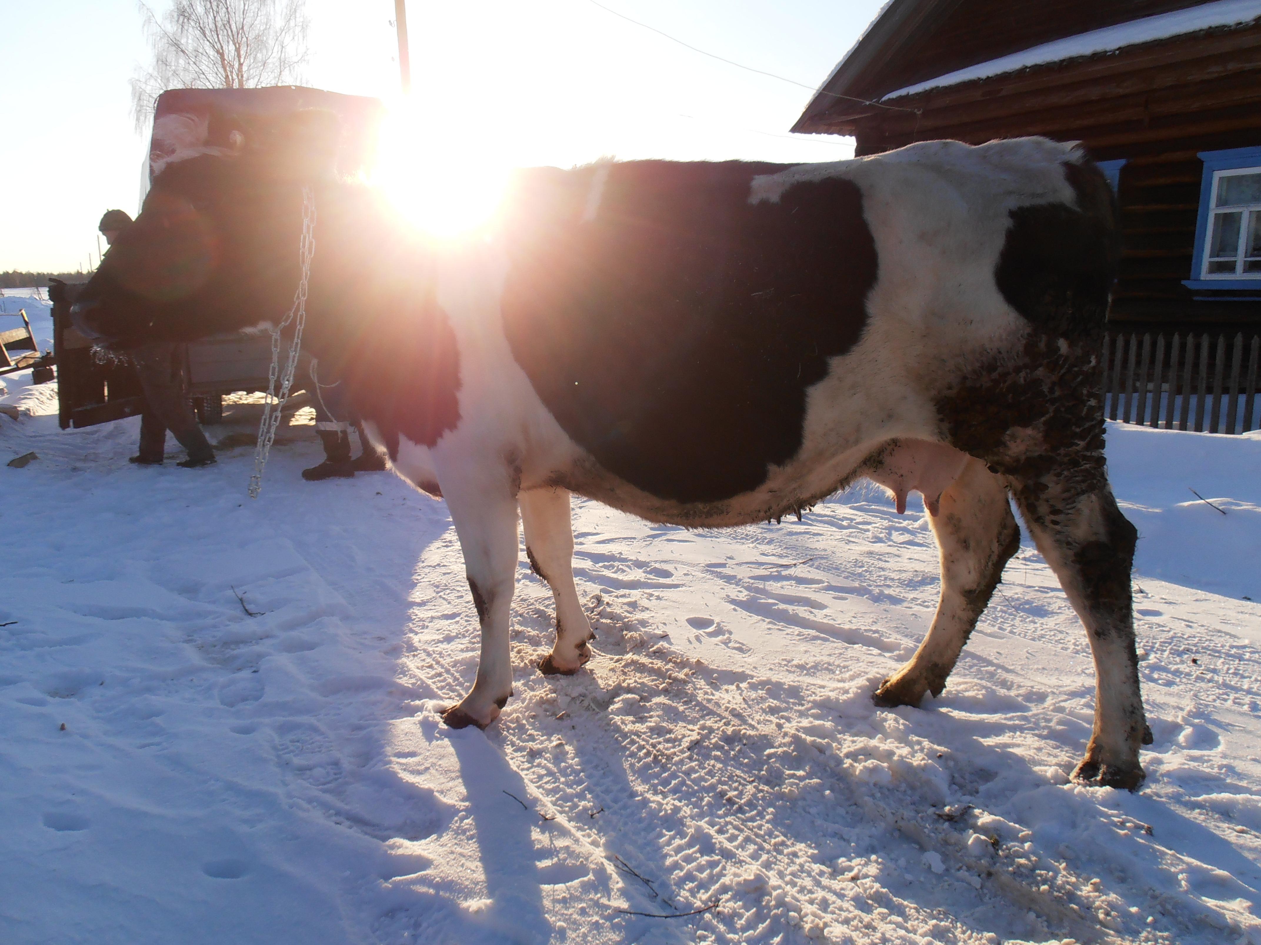 схема отела у коров