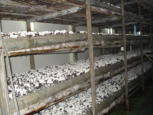 Шампиньоны выращивание в домашних условиях бизнес