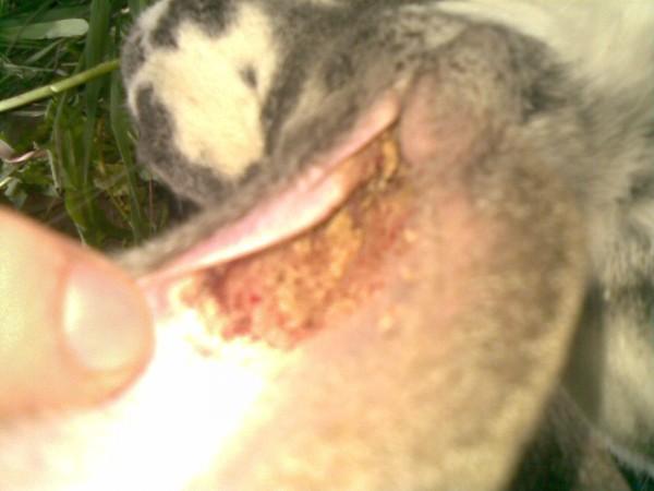 болезни фото ушные кролика