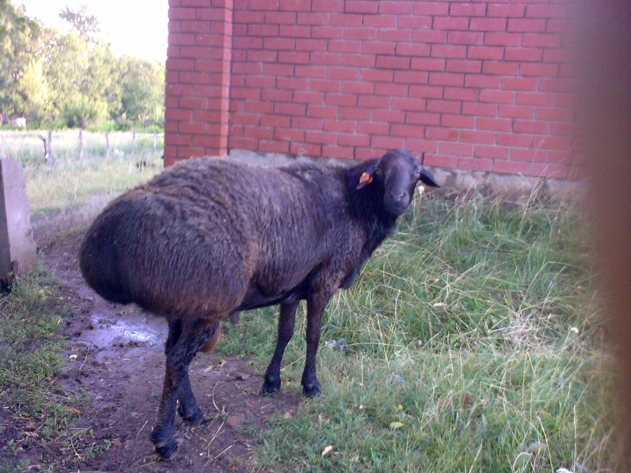 перитонита, курдючные овцы фото стать счастливым