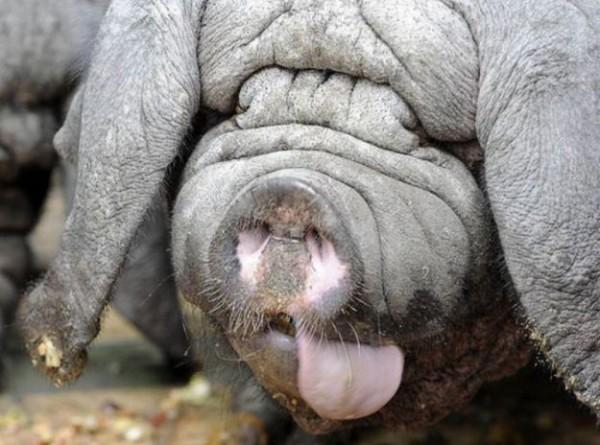 Картинки по запросу Китайские вислоухие свиньи