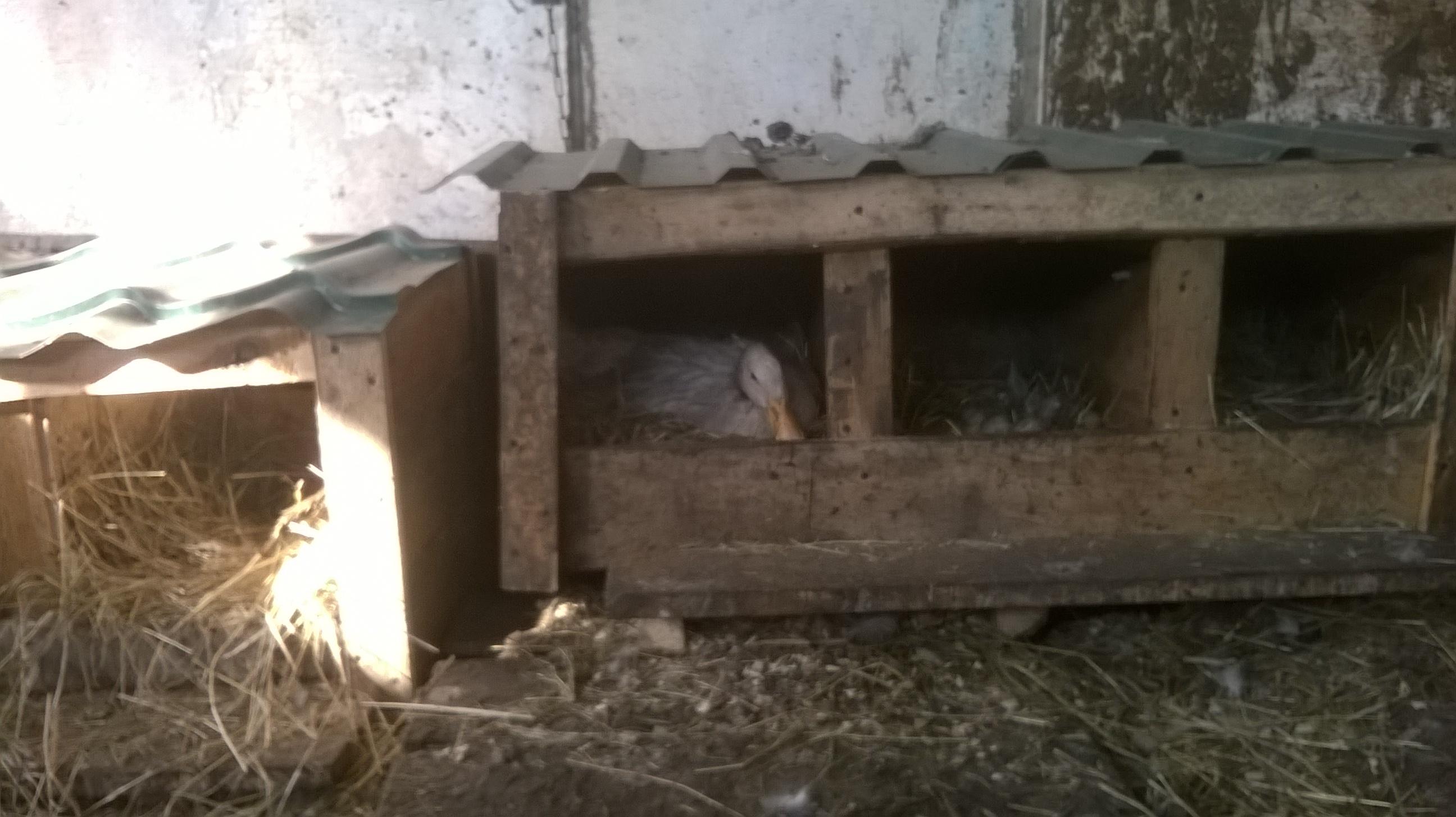 Как построить гнезда для индоуток своими руками: чертежи