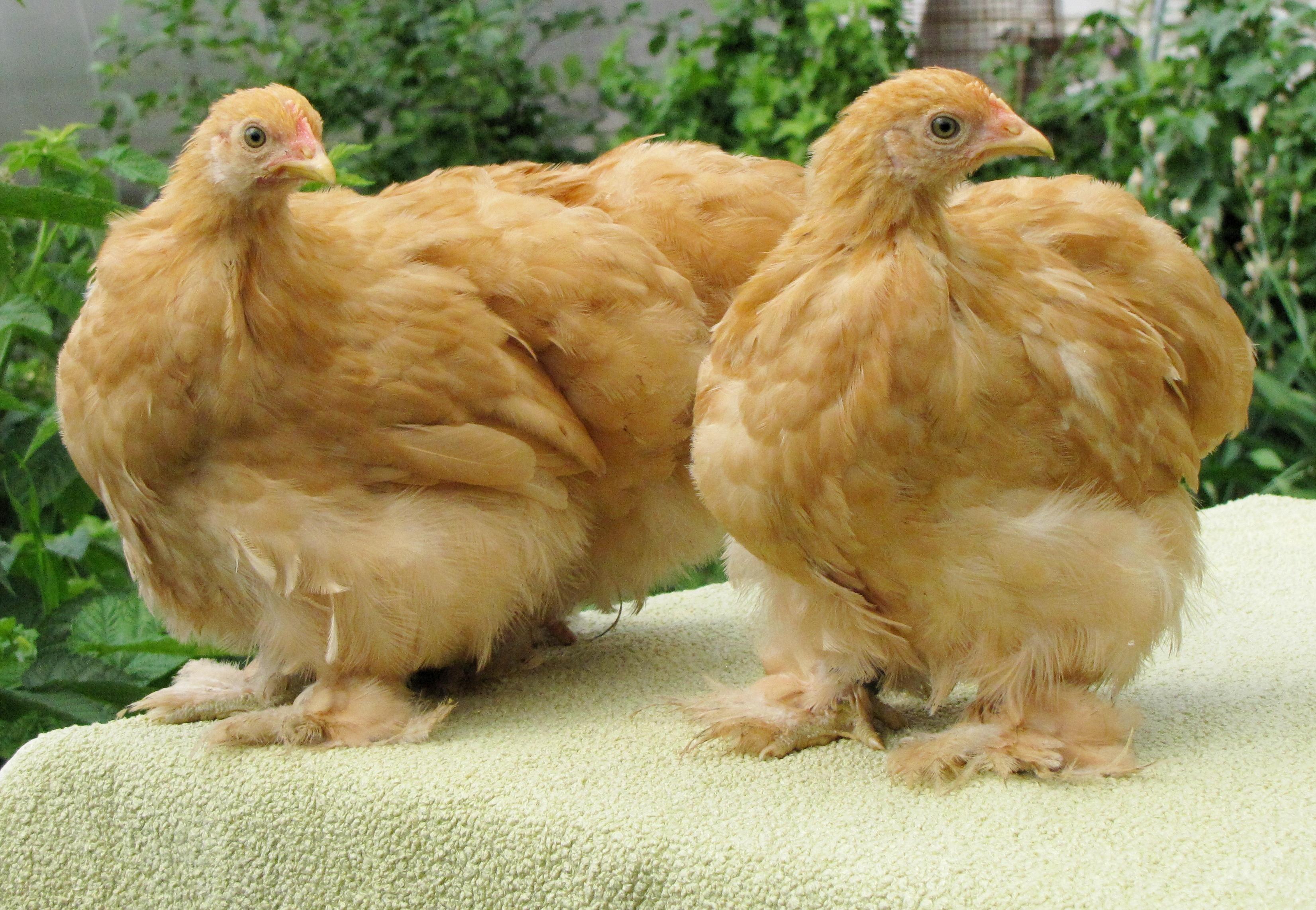 цыплята брама фото и описание уссурийске проживают отзывчивые