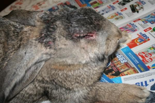 как вылечить кроликов от глистов