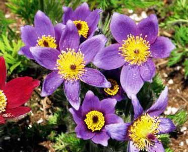 bells_violet_-_ocharovatelnoe_slegka_opushennoe_rastenie.jpg