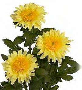 eleonora_yellow_-_gollandskiy_sort._forma_socvetiya_-_gerberovidnaya_vysota_rasteniy_80_sm.jpg