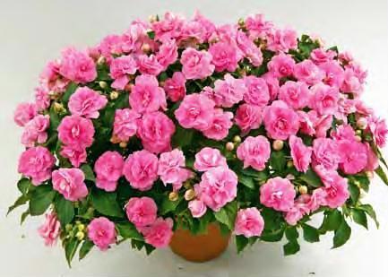 diadem_pink_-_optimalny_pri_ispolzovanii_v_konteynerah.jpg