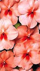 f1_vitara_peach_butterfly_-_moshchnoe_rastenie_s_abrikosovym_cvetkom_s_yarko-krasnym_glazkom.jpg