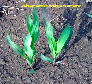 def-cink-i-fosfor-kukuruza.jpg