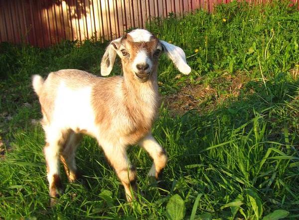 goat27.jpeg