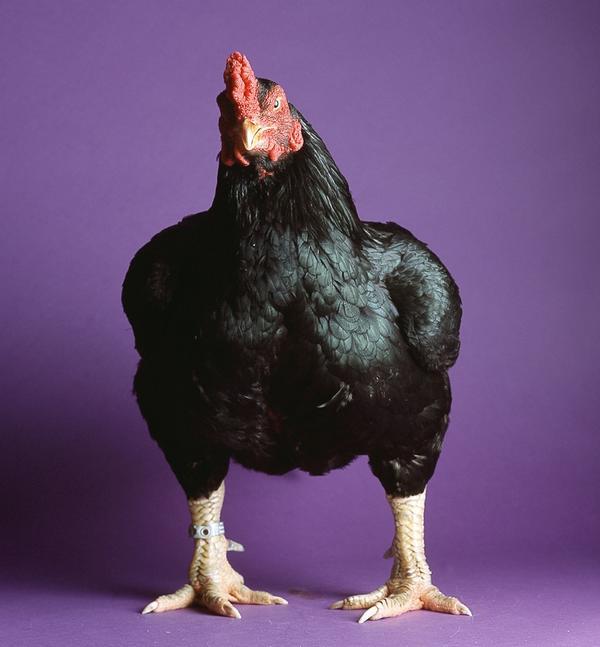 lg-dk-cornish-cock-950x1024.jpg