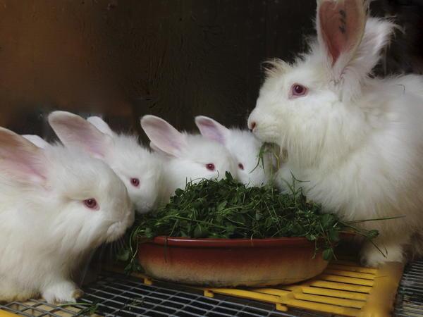 Десерт. Крольчатам 40 дней.