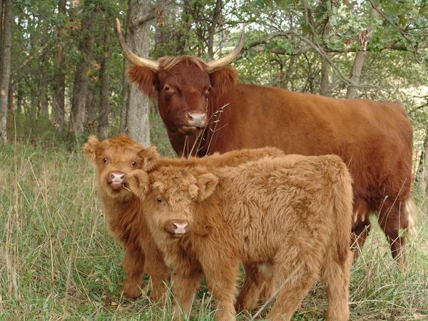 calves_125.jpg