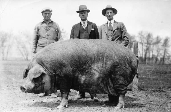 titan_queen_worlds_largest_duroc_sow_8-12-1929.jpg