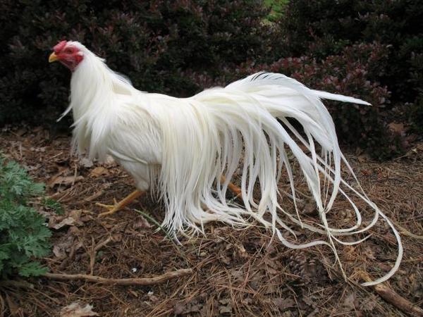 67027645yokohama_rooster.jpg
