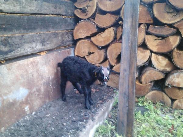 Отучение козлят от матери, Главный фермерский портал - все о бизнесе в сельском хозяйстве