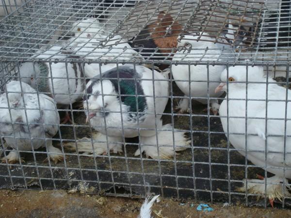 голубей 14.03.2010г. 018.jpg
