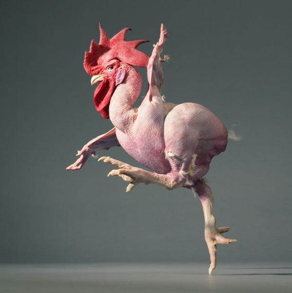 featherless-chicken-jpg_202947.jpg
