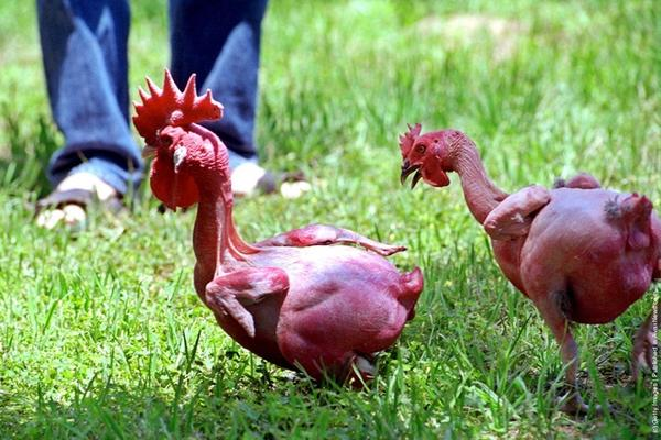 naked-chicken-2.jpg