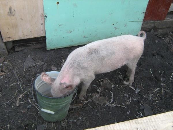 Болезни свиней кароста н холке