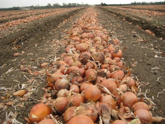 onion14_800x600.jpg