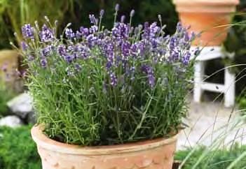 lavanda_uzkolistnaya_blu_scent.jpg