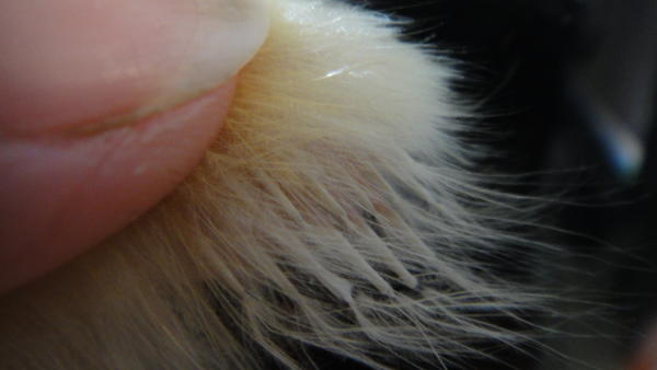 Белые отрастающие перья.jpg