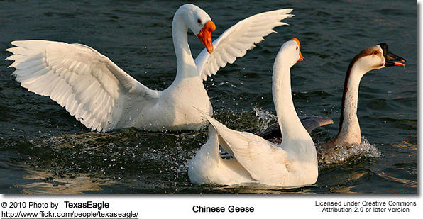 chinesegeese1.jpg
