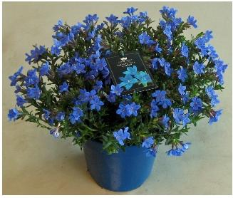 lithodora_heavenly_blue.jpg