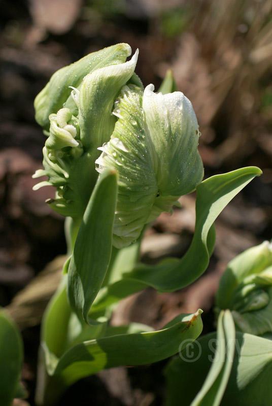 tulipa-01-ss.jpg