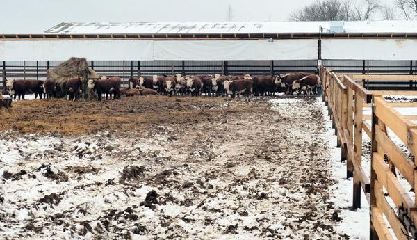 коровы Калуга