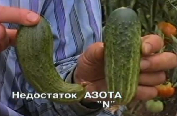 nedostatok-azota-u-ogurcov-3.jpg