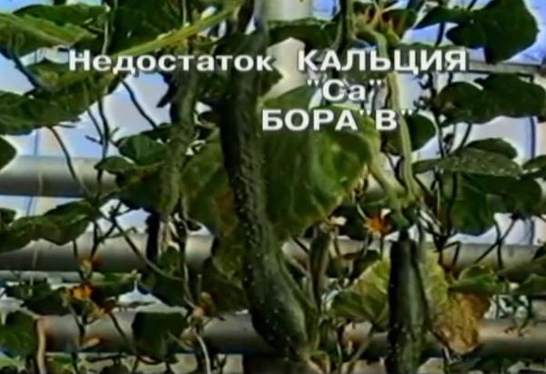 nedostatok-bora-u-ogurcov-3.jpg