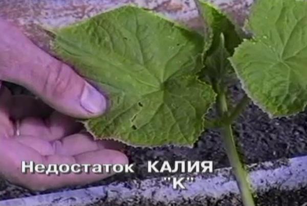 nedostatok-kaliya-u-ogurcov-2.jpg