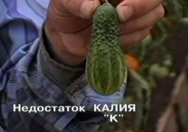 nedostatok-kaliya-u-ogurcov-3.jpg