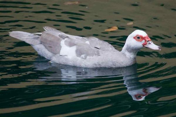 muscovy-duck-2.jpg