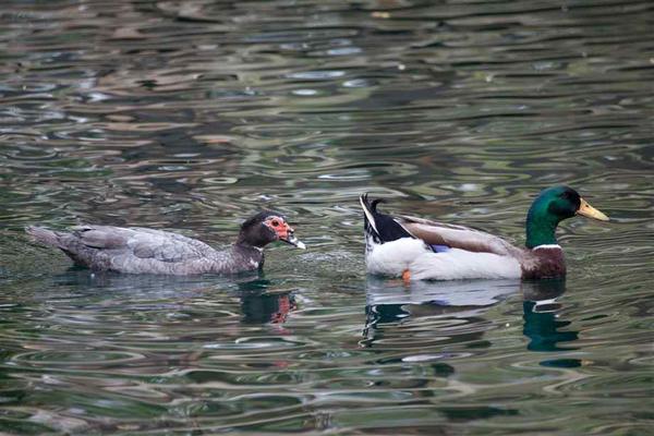 muscovy-duck-6.jpg