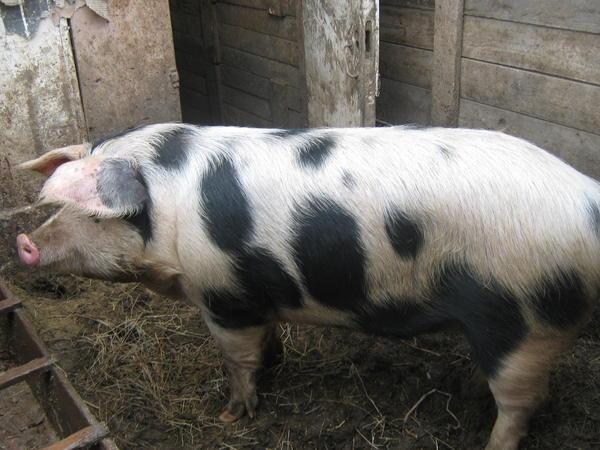 ландрас - мясом вышел 115 кг к 8 месяцам