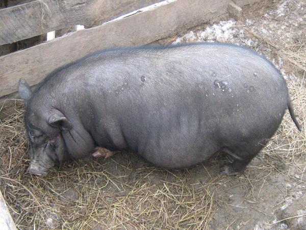 Свинка Ватрушка