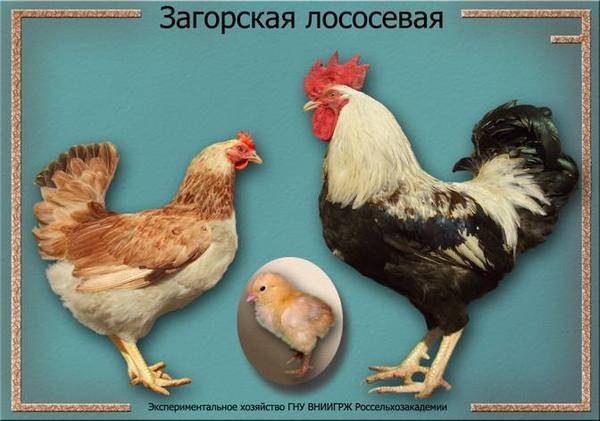 zagorskaya_lososevaya.jpg