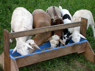 lambseatinggrain.jpg