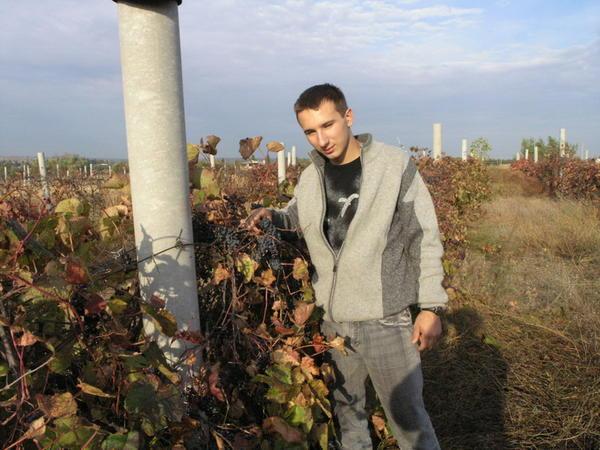 urozhay_neukryvnogo_vinograda.jpg