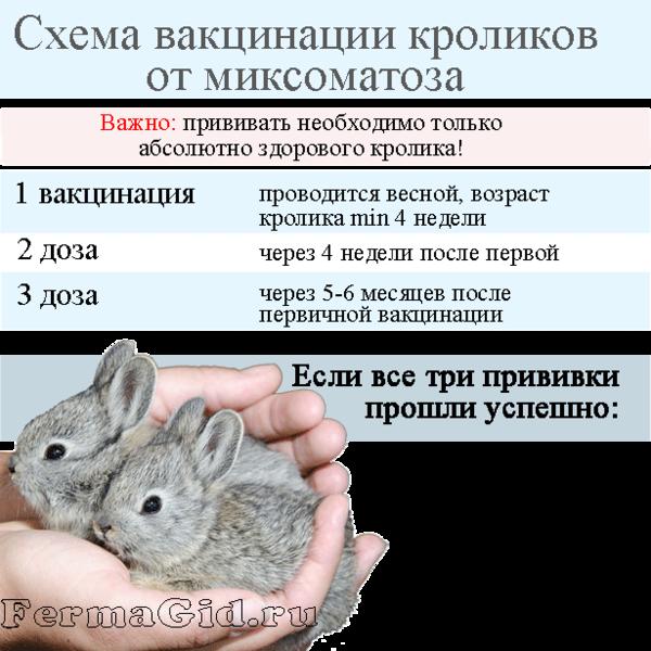 shema-vakcinacii-miksomatoz.png
