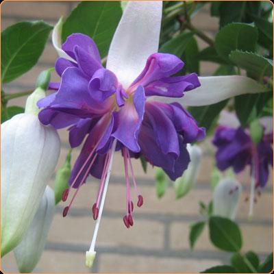 fuchsia-tr-blue-angel-400-400.jpg