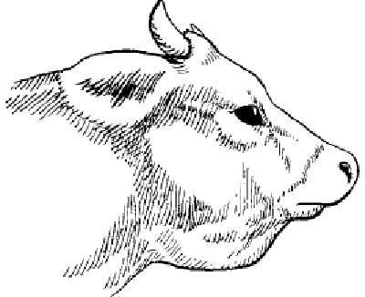 actinomycesbovis-skota.jpg